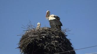Белые аисты вернулись на гнездование в Ленобласть