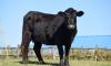 В Приозерском районе достроили новый центр мясного животноводства