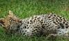 В Госдуме рассмотрят законопроект, запрещающий держать в доме диких животных