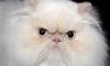 Иранцы отправят в космос персидскую кошку
