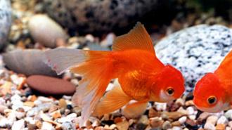 В Пулково задержали аквариумных рыбок без документов