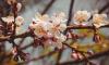 В Ботанический сад выстроилась огромная очередь любителей сакуры
