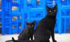 Предвестник несчастья: как черные коты становятся востребованными накануне Хеллоуина