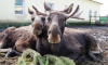 Водителей предупредили о ранней миграции лосей в Ленобласти
