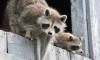 В Московском районе сотрудники Смольного забрали двух енотов из контактного зоопарка на дому