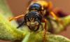 В Малайзии маленькая девочка умерла от 65 укусов шершней