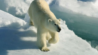 Владимир Путин защитит белых медведей на острове Врангеля от военных