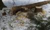 Петербуржцы возмущены вырубкой деревьев в Ржевском лесопарке