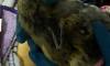 Во Владивостоке спасают детёнышей-тюленей