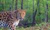 В Приморье фотоловушка сняла леопарда Катюшу с годовалыми котятами