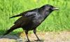 Вороны атакуют петербуржцев: у птиц начался период гнездования