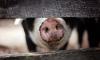 В Ленинградской области увеличится производство свинины