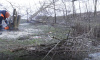 На Васильевском острове вырубают зараженные вязы
