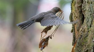 В Ботаническом саду самка дрозда показала, как нужно строить гнездо