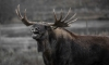 Любопытный лось пугает посетителей Павловского парка