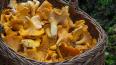 У петербуржцев самые популярные грибы - лисички