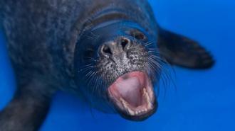 Тюленёнок из Кронштадта похвастался своими зубами