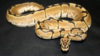 Житель Австралии получил на завтрак змею вместо кукурузных хлопьев