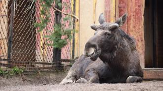 В Ленинградском зоопарке у лося начали расти рога