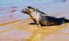 Спасённый в Петербурге тюлень побывал в Эстонии и Финляндии