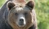 Охотник и медведь сошлись в смертельной дуэли под Комсомольском-на-Амуре