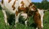 Коллекторы забрали корову у матери должника
