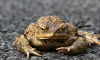 Петербуржцев попросили перевести жаб через дорогу