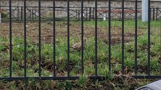 Во Фрунзенском районе возле школы куропатка гоняет ворон