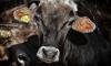 С фермы в Ленобласти украли восемь коров