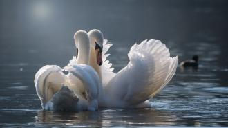 Запуск лебедей на Пискарёвском кладбище станет ежегодной традицией