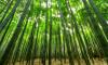 В Красносельском районе может появиться бамбуковая тропа