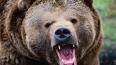 Камчатский медведь в клочья разорвал туристов
