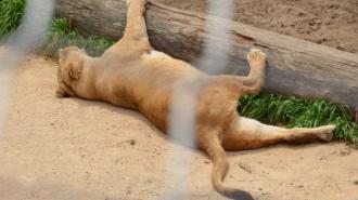 В поезде на Урале умерла львица, которую пытались провезти подпольно