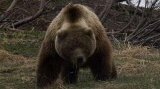 На Камчатке объявлена массовая охота на медведя, который загрыз человека