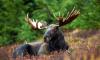 Жителей Выборгского района предупредили о сезоне миграции лосей