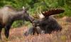 Водителям напомнили о весенней миграции лосей в Петербурге и Ленобласти