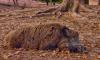 Кабаны Ленобласти снова страдают от африканской чумы