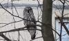 Петербуржцы заметили сову на Комендантском проспекте