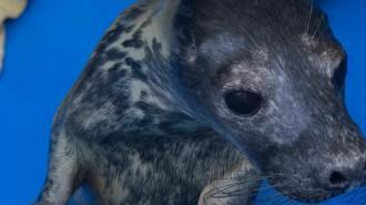 Детенышам серых тюлений в Репино дали имена