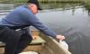 В Ленобласти предприниматель выпустил в озеро 20 тысяч щук
