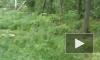 В Сертолово незаконно вырубают лес