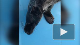 """Фонд друзей балтийской нерпы опубликовал видео """"поющих"""" тюленей"""