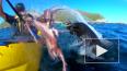 Видео из Новой Зеландии: Тюлень швырнул в лицо каякеру ...