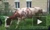 В Красном Селе бык выгуливает компанию тёлок