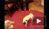 Видео: животные забавно «умирают» понарошку