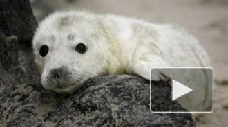 Петербургские зоологи спасли детенышей серого тюленя