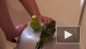 Банный день для попугаев