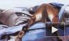 Конь сломал ногу, попав под машину на Мурманском шоссе