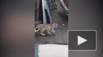 В Петрозаводске поймали рысь