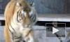 Стали известны подробности побега тигрицы Герды из вольера